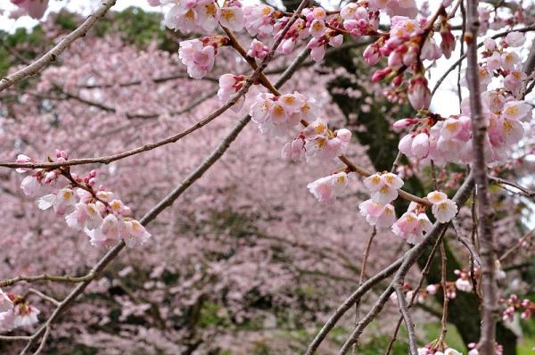9金龍桜180322