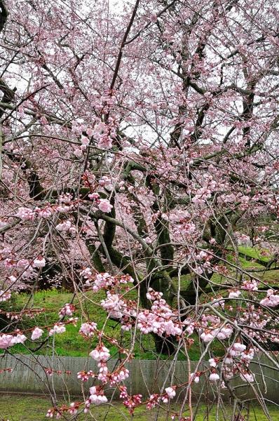 7金龍桜180322