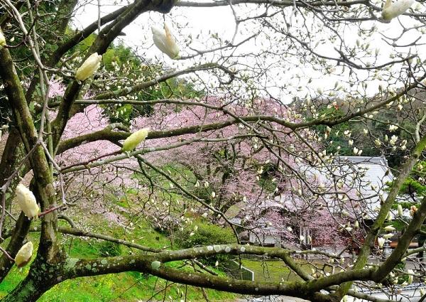 6金龍桜180322