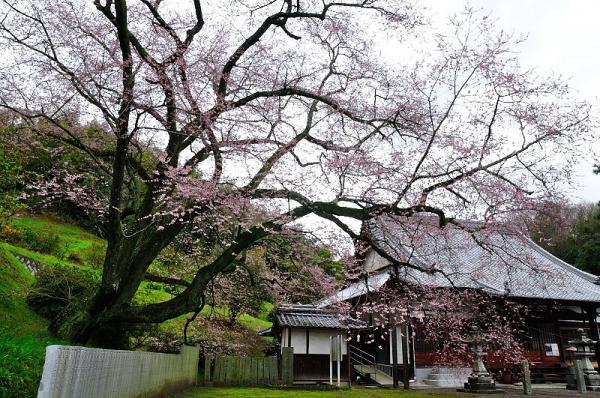 5金龍桜180322