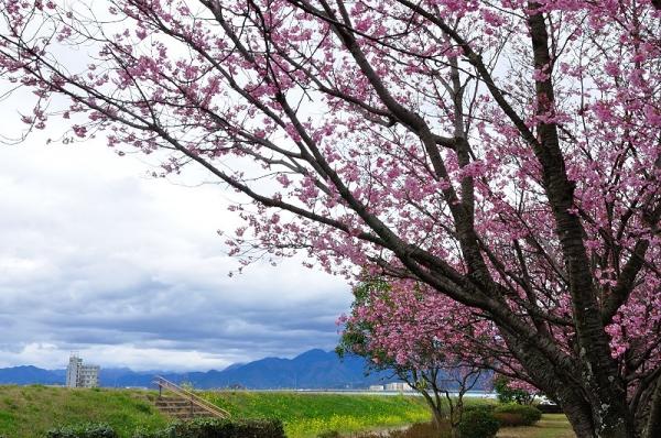 3陽光桜180322