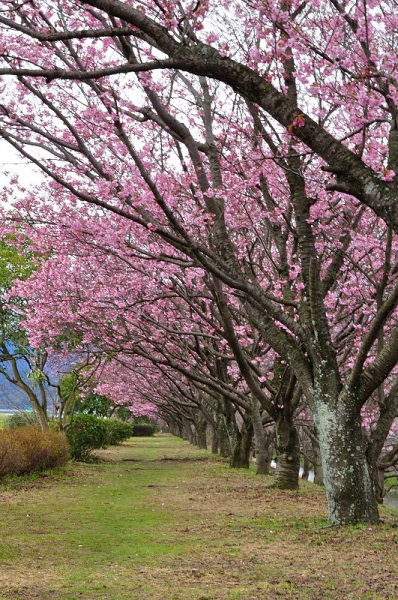 2陽光桜180322