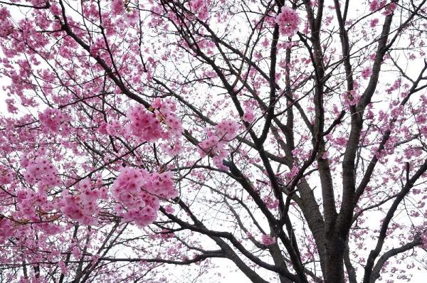 10陽光桜180322