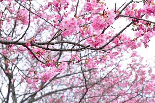 9陽光桜180322