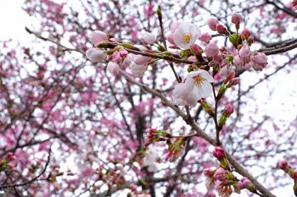 8陽光桜180322