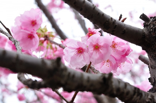 7陽光桜180322
