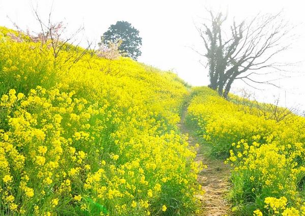 6黄色の丘180326