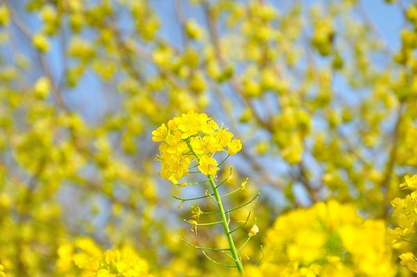 5黄色の丘180326