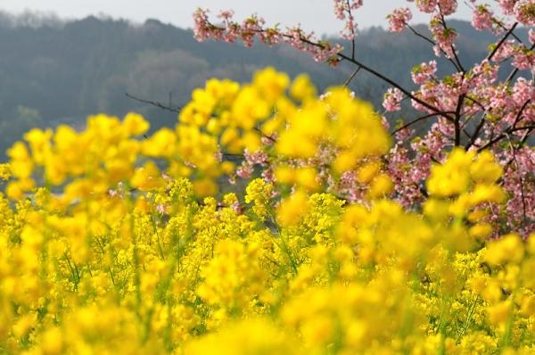 4黄色の丘180326