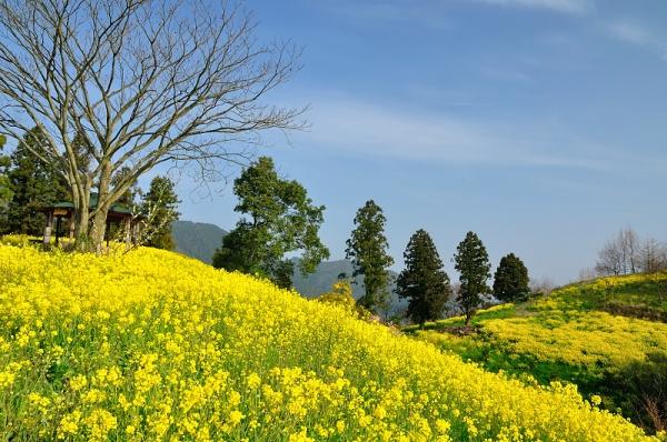 3黄色の丘180326