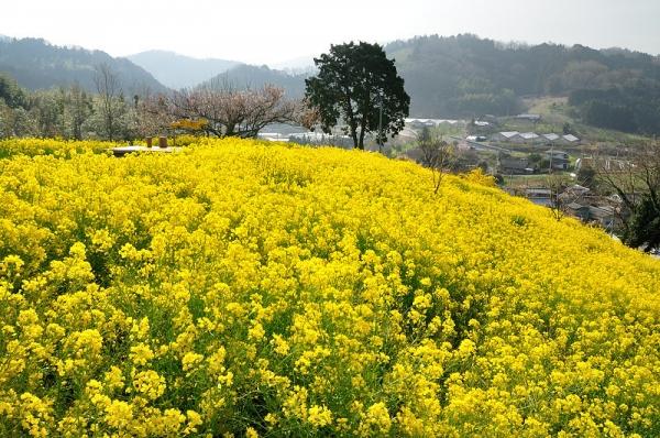 1黄色の丘180326