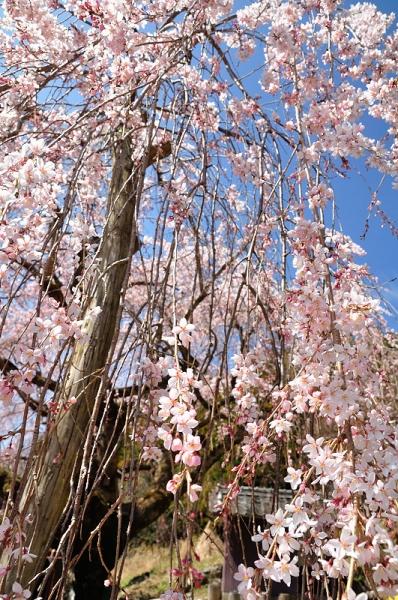 11野村のしだれ桜180326