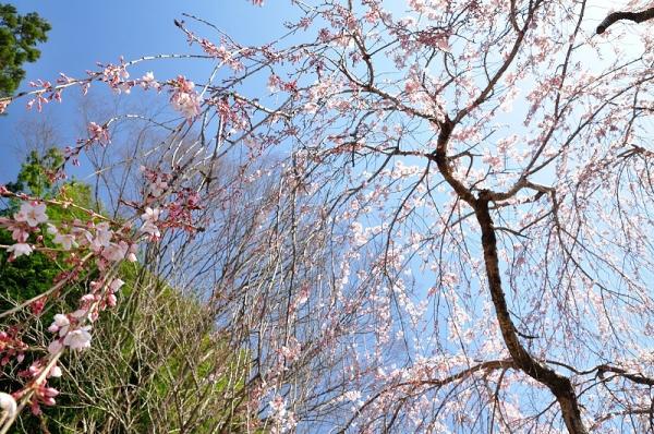 8野村のしだれ桜180326