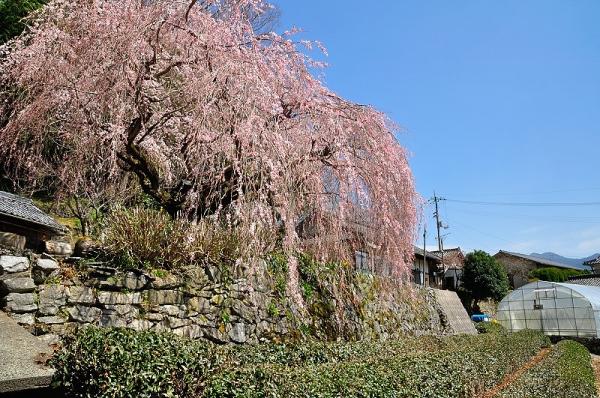 7野村のしだれ桜180326