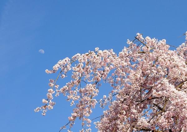 5古田のしだれ桜180326