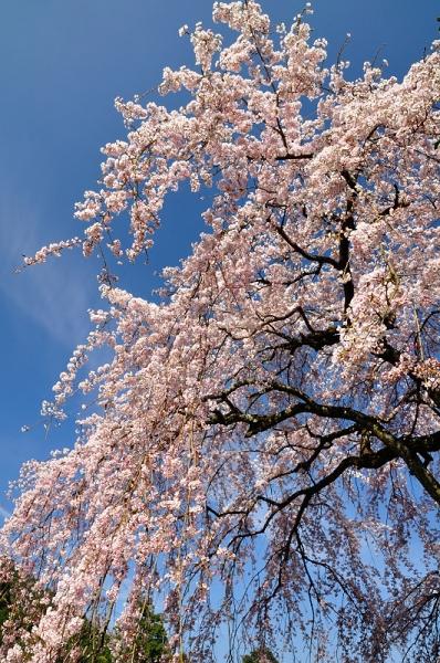 6古田のしだれ桜180326