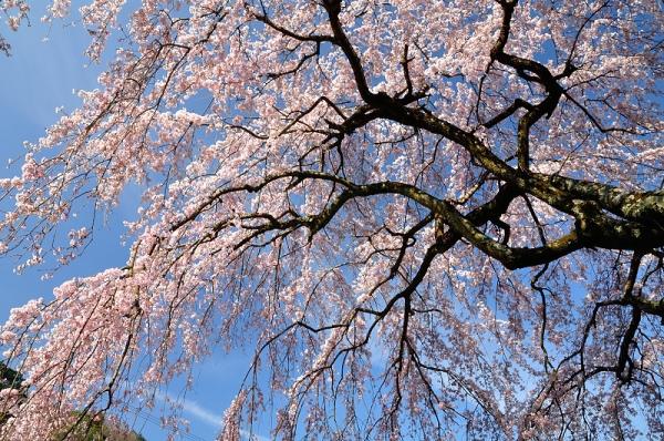 3古田のしだれ桜180326