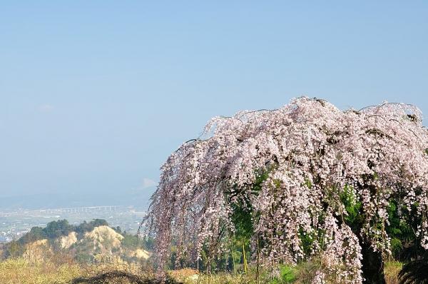 2古田のしだれ桜180326
