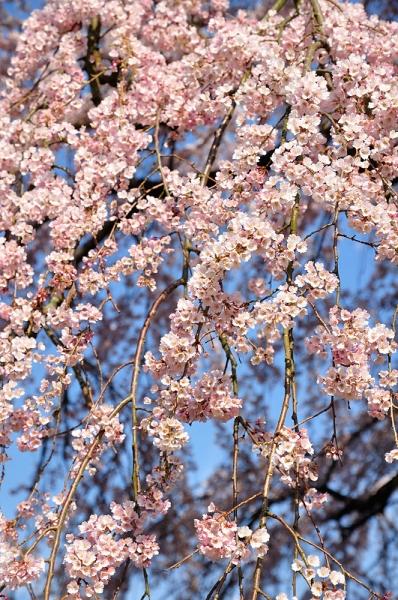 7古田のしだれ桜180326
