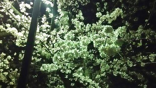 sakura resaize (3)