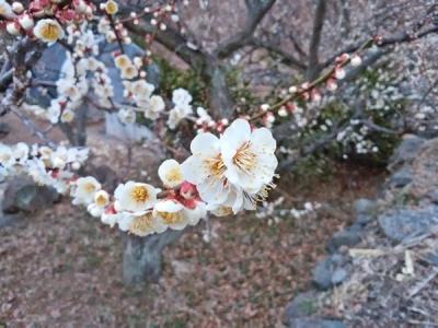 石切り場の坂下の梅の花20180227