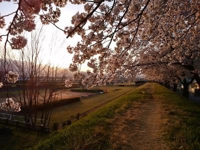 荒川の土手の桜