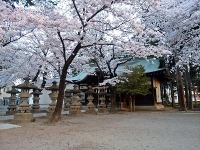 千塚八幡神社の桜