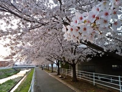 芸術の小径 桜②