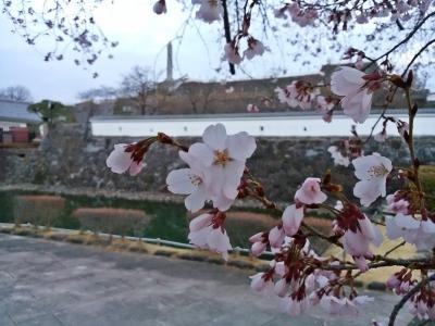 舞鶴城公園の桜の開花