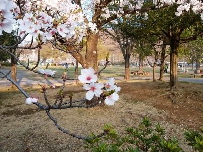 緑ヶ丘スポーツ公園の桜