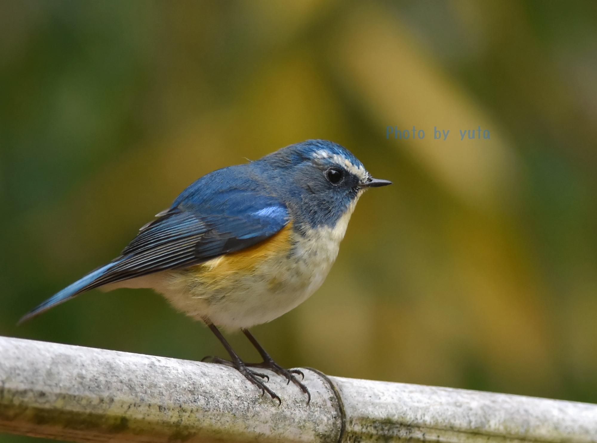 ルリビタキ成鳥