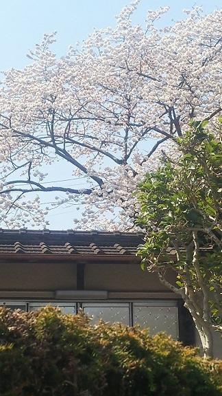 桜がもりもりしてる