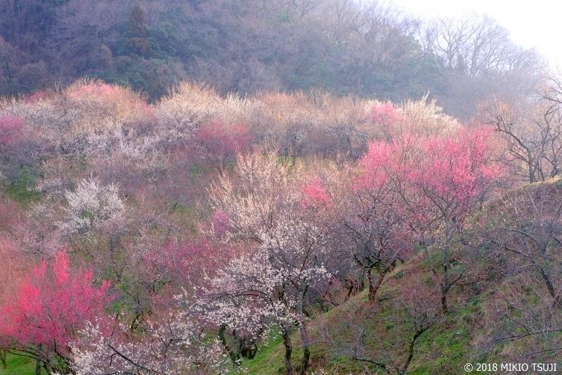 絶景探しの旅 - 0521 朝の光が差し込む大下沢梅林 (東京都 八王子市)