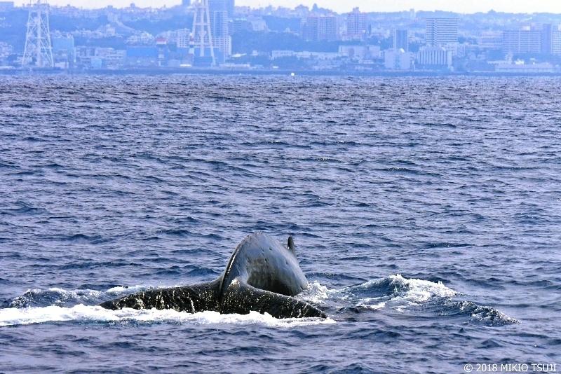 絶景探しの旅 - 0528 野生のザトウクジラ (沖縄県 北谷町沖)