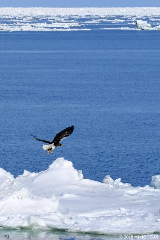 絶景探しの旅 - 0532 流氷から飛び立つオオワシ (オホーツク海/北海道 網走市)