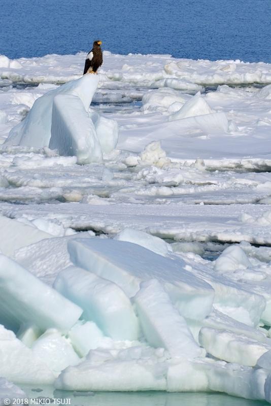 絶景探しの旅 - 0531 オホーツクの流氷に乗るオオワシ(北海道 網走市)