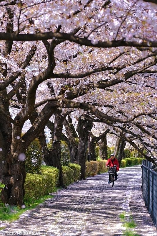 絶景探しの旅 - 0543 桜舞う道 (残堀川遊歩道/東京都 立川市)