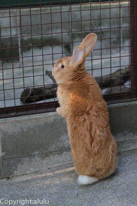 池田動物園 ウサギ フレミッシュジャイアント