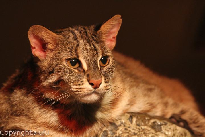 アムールヤマネコ 動物写真
