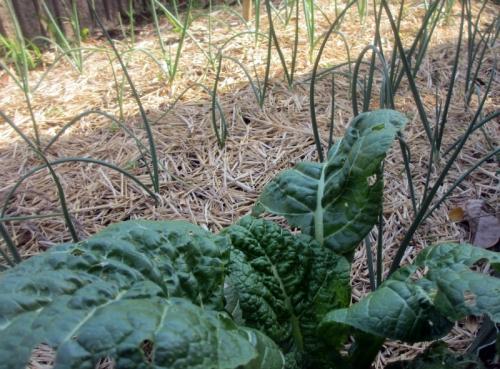 カツオ菜と玉ねぎ